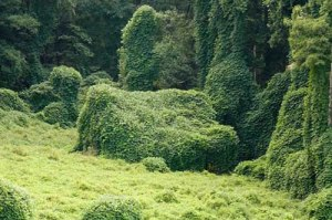 Kudzu envelops a house