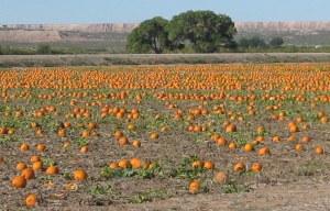 Pumpkin field in the Mesilla Valley