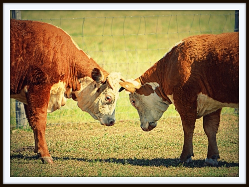 Bull Session: Two bulls have a tête-à-tête at the LBJ Ranch near Johnson City, Texas